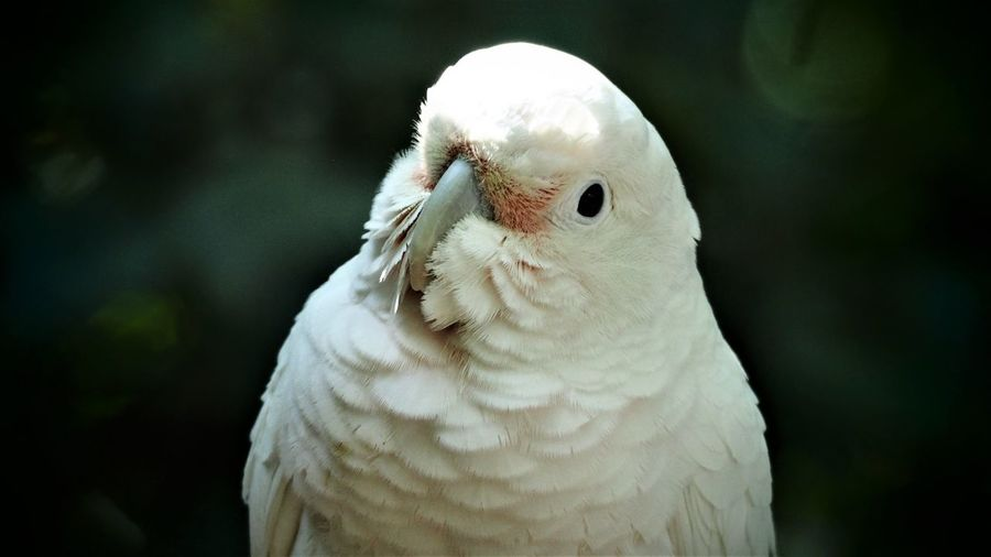 Pearl, Bloody faced Corella/ Goffins Cockatoo, Birds of Eden Cockatoo Animal Animal Body Part Animal Eye Animal Head  Animal Themes Animal Wildlife Animals In The Wild Beak Bird Bloody Faced Corella Close-up Cockatoo Day Focus On Foreground Nature No People One Animal Outdoors Parrot Pearl Portrait Vertebrate White Color