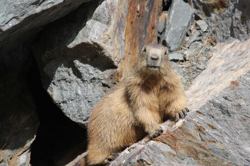 Marmotte One Animal Animals In The Wild Nature Nature Montains    Saint Sorlin D'Arves Alpes