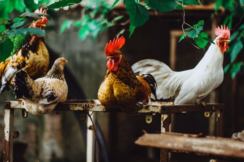 EyeEm Selects Bird Cockerel Rooster Agriculture Rural Scene Chicken - Bird White Meat Cage Poultry Hen Barn Farmhouse Ranch Great Plains Dairy Farm Agricultural Building Farm Infant Female Animal Mallard Duck Farmland Animal Pen Stable Birdcage Organic Farm Paddock Taurus Horse Livestock