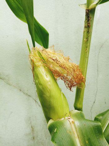 เพียวไวท์ฮอกไกโด ข้าวโพดหวานสีขาวกินดิบ ชาวสวน ปลูก Plants 🌱 ข้าวโพด Sweed Corn ผัก ผลไม้ Reptile Camouflage Full Length Close-up Animal Themes Green Color Plant