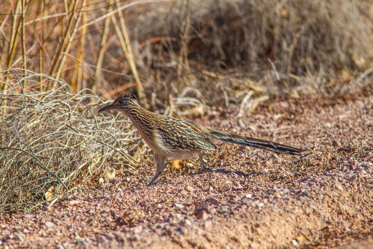 Animal Themes Animal Wildlife Animals In The Wild Beauty In Nature Bird Bird Photography Day Geococcyx Californianus Greater Roadrunner Nature Nature Photography No People One Animal Outdoors Wildlife & Nature Wildlife Photography