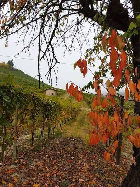 Tree Outdoors Nature Day No People Beauty In Nature Landscape Sky Barolo Vineyards Vineyard Cultivation Vineyards In Autumn VineyardGrowth Rural Building Small House The Past Agriculture Travel Destinations Autumn Langhe Piedmont Italy Rural Scene Branch
