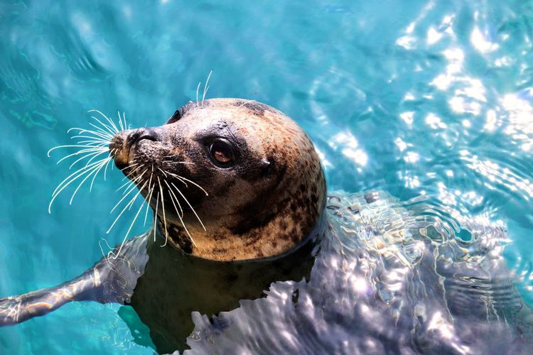 UnderSea Water Sea Life Swimming Portrait Sea Underwater Aquatic Mammal Sea Lion Close-up