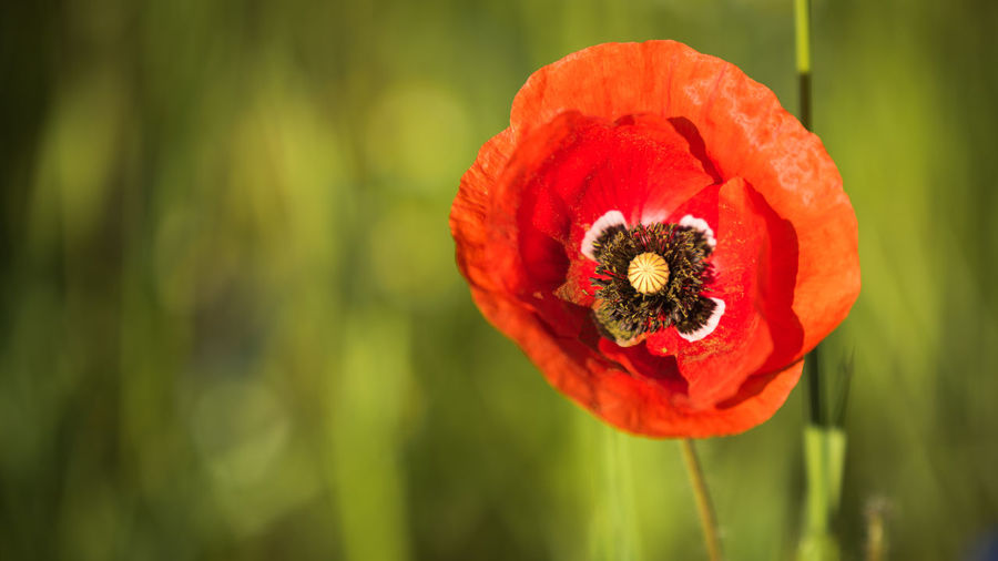 Poppy Flower Flowering Plant Fragility Petal Vulnerability  Beauty In Nature Red Freshness Plant Close-up Flower Head Poppy Growth Inflorescence Focus On Foreground Nature Day Pollen No People Bokeh