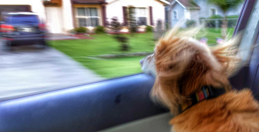 Our Rescue Dog, Jack Going For A Ride  Down To The River Hair Flying oh boy, we're not goin to the vet Pets Long Haired Dachshund Head Out The Window capturing motion Adapted To The City