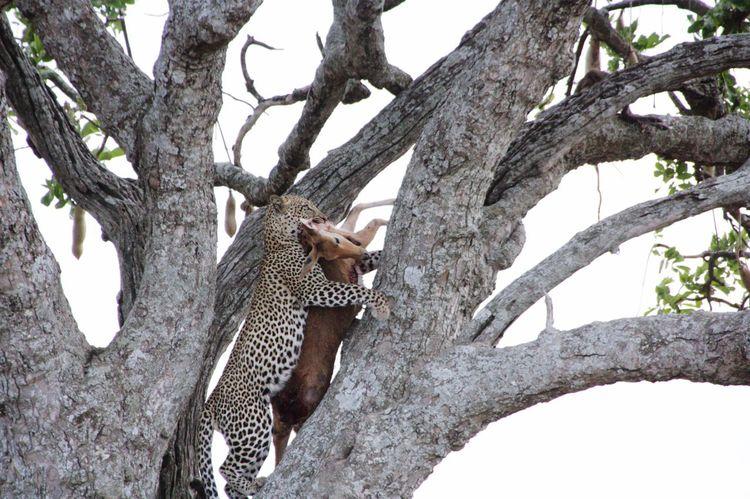 One Animal Tree Animals In The Wild Leopard Animal Wildlife Safari Animals Climbing Tansania Tanzania Hunting Jagd