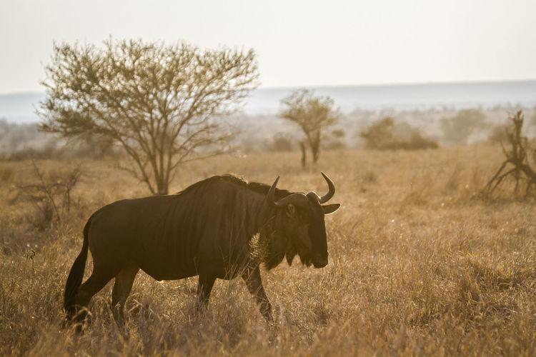 Wildebeest on grassland during sunset