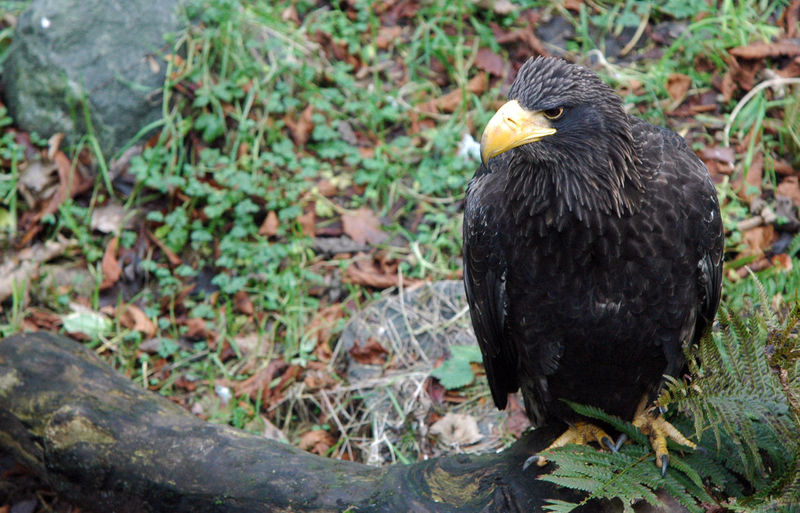 Close-up of stellers sea eagle perching on log