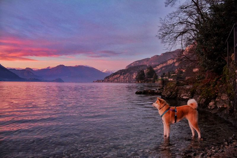 Dog standing in a lake against sky during sunset