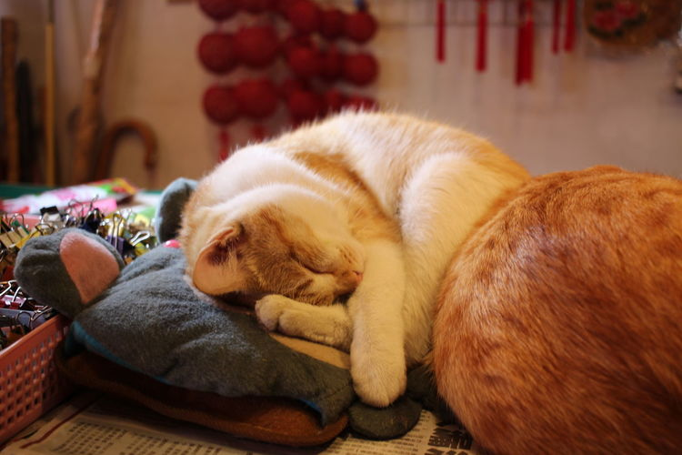 Changhua, Taiwan Lukang Old Street Animal Themes Cat Close-up Day Domestic Animals Eyes Closed  Ginger Cat Indoors  Lying Down No People Pets Relaxation Sleeping