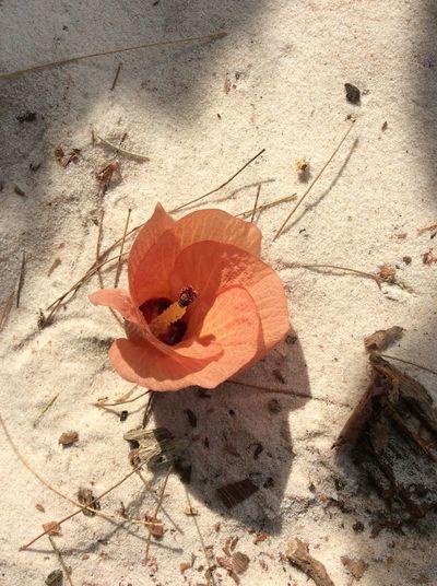 Flower Flower Orange Nature Outdoors Beauty In Nature Beach Sae