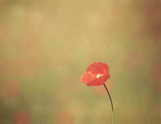 Fragile Beauty In Nature Blooming Bokeh Depth Of Field Flower Nature Petal Poppy