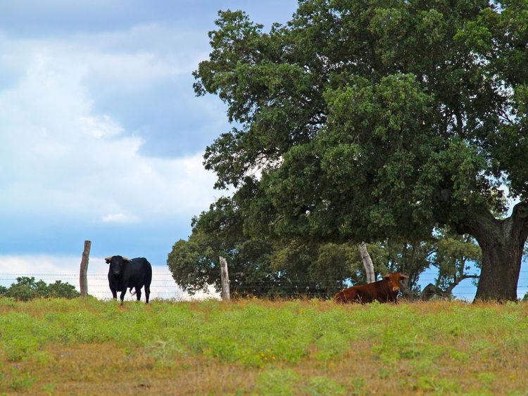 Animal Themes Beauty In Nature Bull Bulls Cattle Cow Cows Dangerous Animals Day Dehesa Domestic Animals Holm Oak Mammal Nature No People Outdoors Pasture Pasture, Paddock, Grassland, Pastureland Quercus Quercus Ilex Sky Toro Toros Tree Wildlife