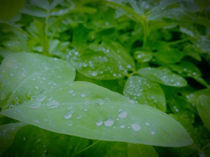 Leaf Drop Green Color