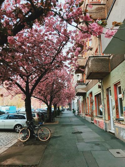 Cherry blossom tree by building in city