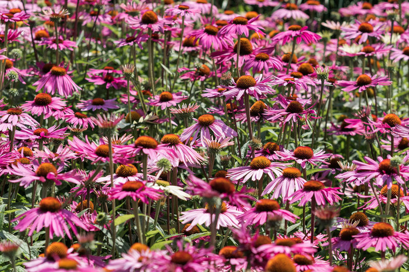 Echinacea purpurea, purple coneflower, 'Fatal Attraction' No 4 Daisies Purple Coneflower Beauty In Nature Blooming Close-up Coneflower Day Echinacea Echinacea Purpurea Flower Flower Collection Flower Head Flowers Fragility Freshness Growth Nature No People Outdoors Petal Plant Purple