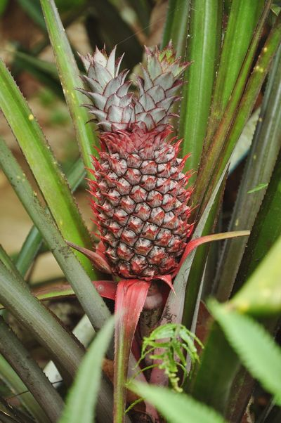 Pineapple Pineapples Pineapple🍍 Ananas Fruits Fruit Tropical Fruits Fresh Fruits Vegetables & Fruits Summer Fruits Fruit Trees Eat More Fruit Pineaple  RePicture Growth
