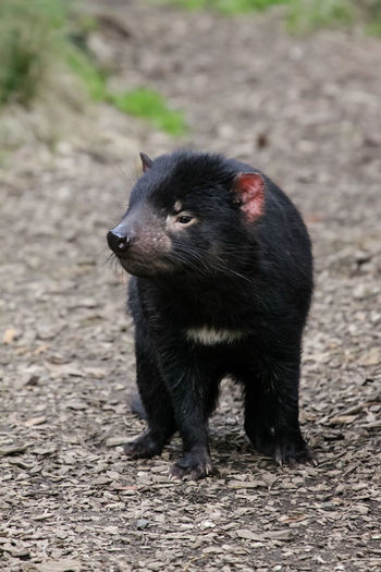 Tasmanian devil looking away while standing on land