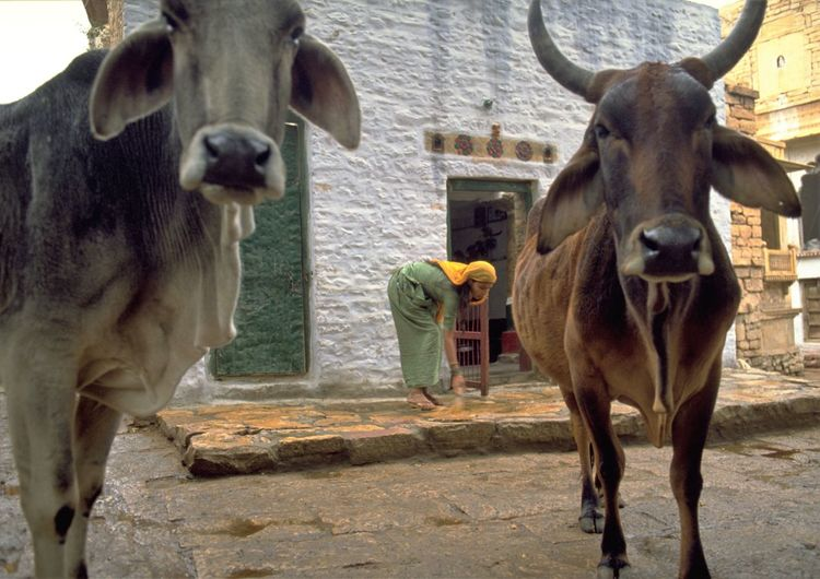 Cows standing outdoors