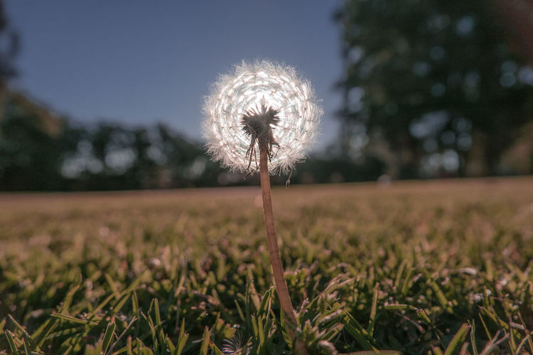 Freshness Grass Innocent Light Pure Beauty In Nature Close-up Dandelion Day Field Flower Flower Head Focus On Foreground Fragility Growth Meadow Nature No People Outdoors Plant Sunset The Week On EyeEm EyeEmNewHere Perspectives On Nature
