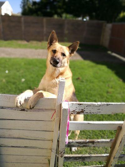 Portrait Of Dog Rearing On Gate In Backyard