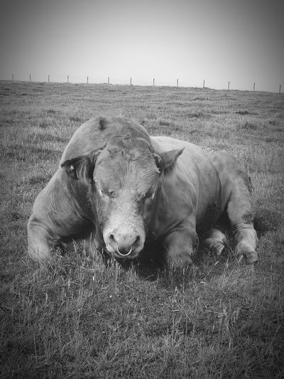 lazy bull Cattle Stubborn Lazy Farm Life Hot Day Field Animalphotography Bulls Here's Looking At You Kid Looking Looking At You Laying Down Scotland Taking Pictures Taking Photos Dumfries And Galloway Mull Of Galloway Bull Farm Animal Close-up Blackandwhite Blackandwhite Photography Black And White Monochrome monochrome photography Mobilephotography S9photography Lazy Day Something Different Outdoors The Great Outdoors - 2018 EyeEm Awards The Traveler - 2018 EyeEm Awards