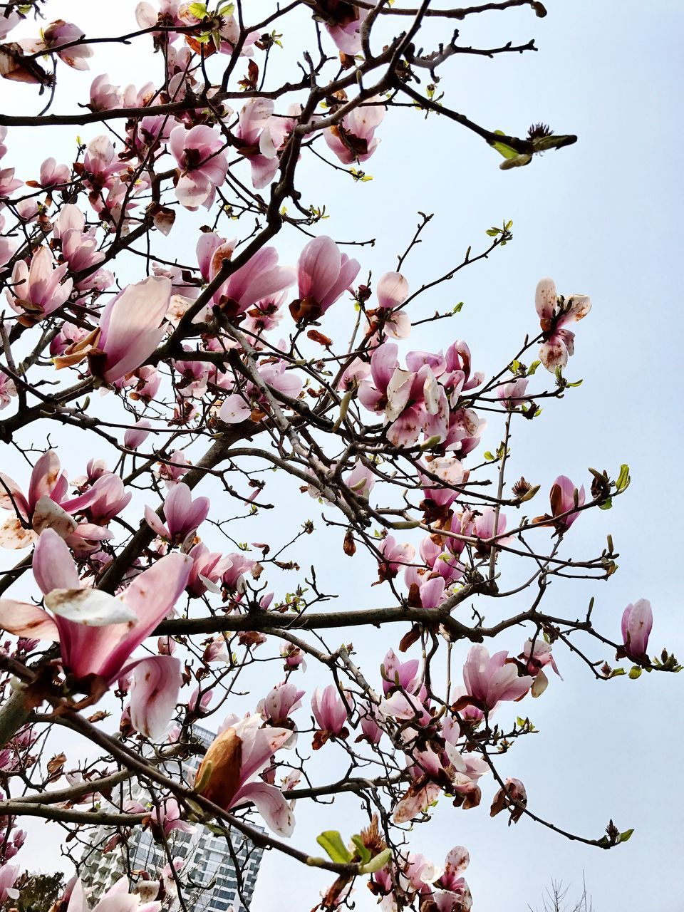 flower, pink color, beauty in nature, tree, fragility, branch, blossom, nature, magnolia, springtime, growth, freshness, petal, low angle view, cherry tree, botany, day, no people, apple blossom, outdoors, plum blossom, twig, blooming, close-up, flower head, clear sky, sky