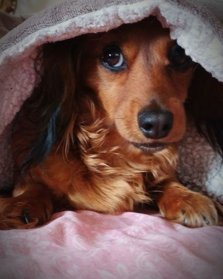 Hello World Hi! Enjoying Life Pets Daschound Girl Puppy Love Babygirl Longhairdontcare Cheese! Puppydogeyes Pets Are Family Too Taking Photos BestEyeemShots Blanket Fort Big Brown Eyes Best Of The Day Pet Portraits