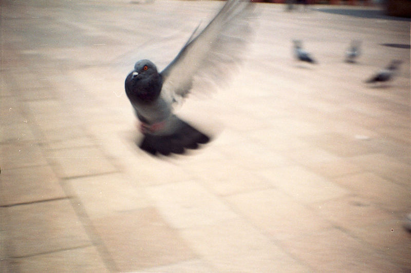 I´m out Analogue Photography Film Fly Bird Close-up Motion No People One Animal Pigeon Spread Wings