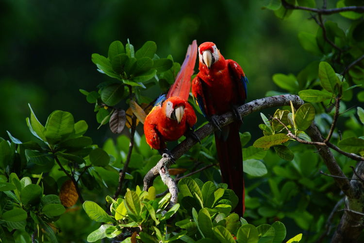 Scarlet macaws perching on branch