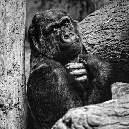 Silverback Gorilla Olympus Omd Em5 Mark Ii Sigma Sigma 60mm Art Monochrome Photography Monochrome Blackandwhite Chimpanzee One Animal Animal Themes Animals In The Wild Gorilla