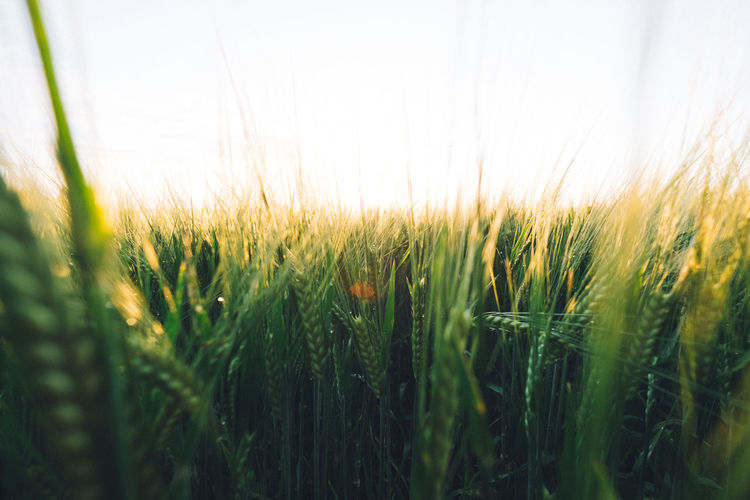 Agriculture Beauty In Nature Cereal Plant Clear Sky Close-up Crop  Day Field Field Freshness Grain Grass Growth Landscape Nature No People Outdoors Plant Rural Scene Selective Focus Sky Sunset Tranquility Wheat