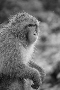Japanese Macaque - Snow Monkey Arashiyama Iwatayama Monkey Park Looking Away Snow Monkey Black And White Bnw Iwatayama Japanese Macaque Kyoto Macaque Mammal Monkey Primate Snow
