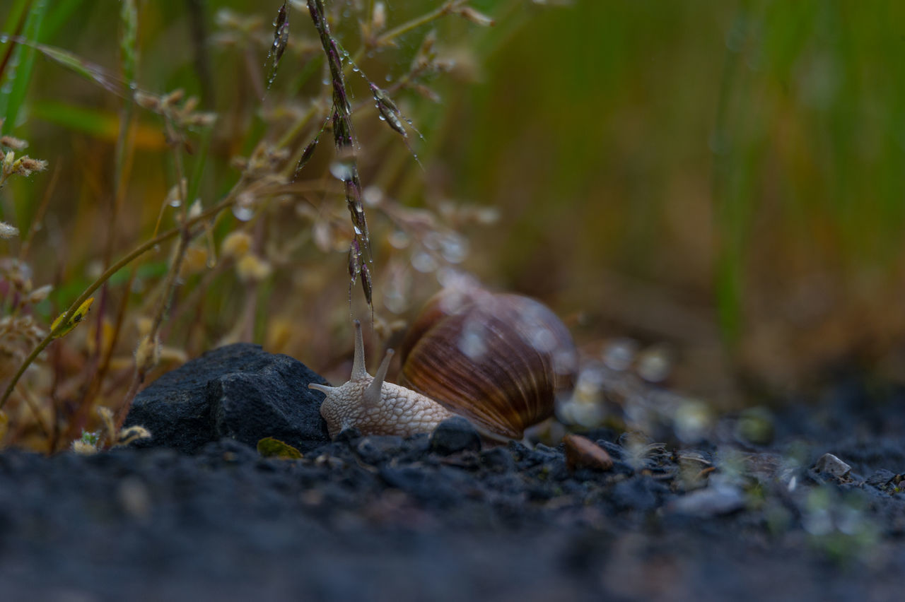 animal themes, one animal, selective focus, animals in the wild, nature, no people, outdoors, day, close-up, animal wildlife, fragility, slug
