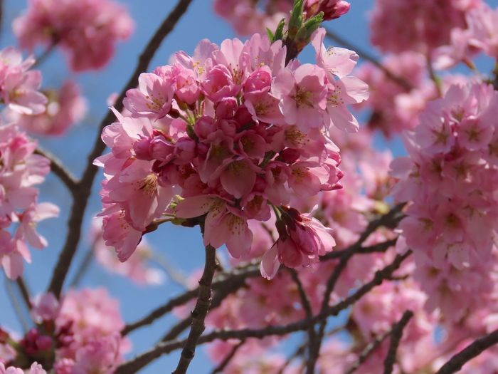 Springtime beauty flowering trees pink petals blue skies beauty in nature outdoors Plant Flower Fragility Pink Color Growth Close-up