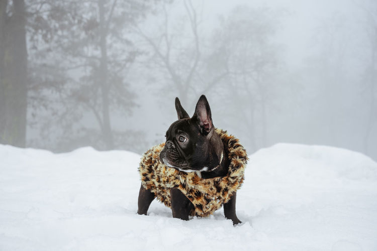 Puppy Frenchie Frenchbulldog Bouledogue Francais Domestic Animals Fog Foggy Animal One Animal Nature Bare Tree Pets Snow Cold Temperature Winter Dog Snowing Animal Themes Purebred Dog Deep Snow Pet Clothing French Bulldog Bulldog