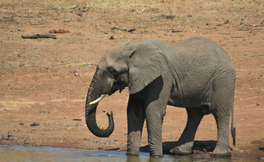 Elephant Animals In The Wild Animal Animal Themes Animal Wildlife Mammal One Animal Safari Animal Trunk Vertebrate Animal Body Part African Elephant Day No People Nature Full Length Standing Herbivorous Walking Outdoors