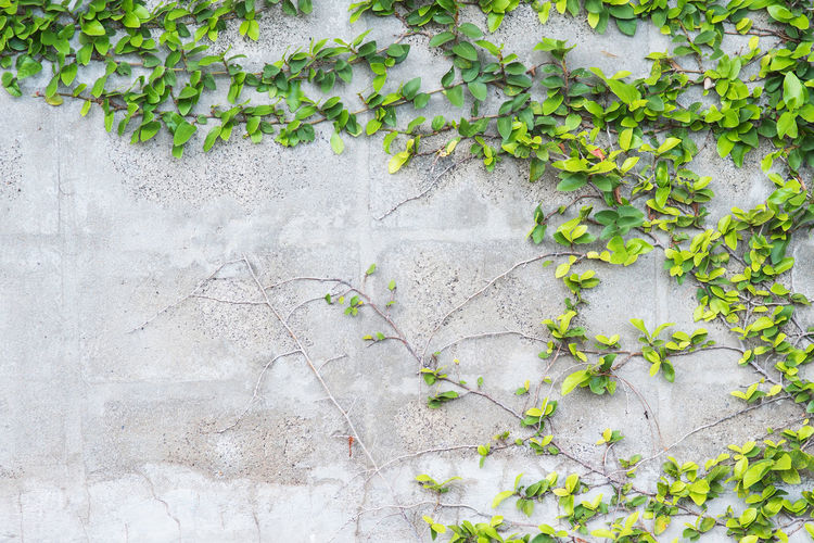 Architecture Backgrounds Beauty In Nature Building Exterior Built Structure Close-up Concrete Creeper Plant Day Freshness Green Color Growth Ivy Leaf Nature No People Outdoors Plant Plant Part Stone Wall Wall Wall - Building Feature
