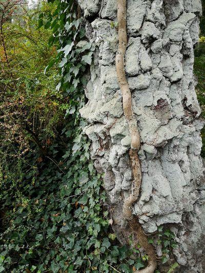 Old tree Tree