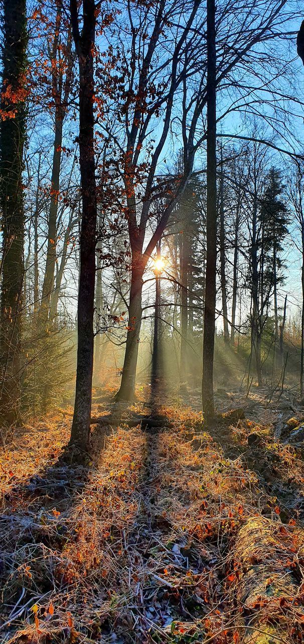 SUN STREAMING THROUGH TREES IN FOREST
