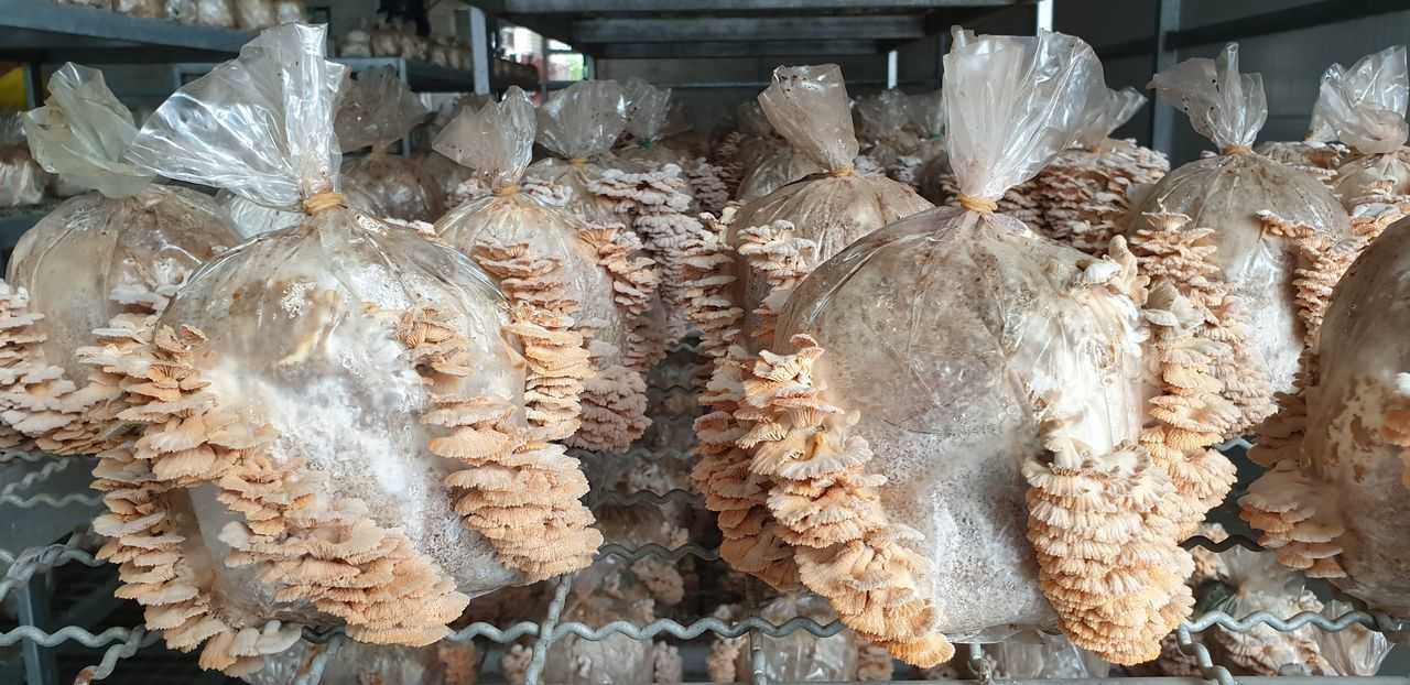 Split gill mushroom cultivation farm in Songkhla Thailand as a plant based protein for the future Mushroom Cultivation Split Gill Mushroom Vegetarian Food Edible Mushroom Fungi Mushroom Mushroom Farm Mushroom_pictures Mushroomphotography Plant Based Foods Plant Based Protien Thai Mushroom