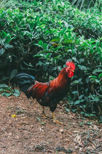Close-up of rooster on field