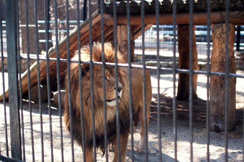 Lion trapped in a zoo cage Animals In Captivity Animal Portrait Safari Animal Rescue Animal Rights Hostage Prison Bars Prison Cell Prisoner Animal Themes Animal One Animal Mammal Cage Animal Wildlife Animals In Captivity Trapped Zoology Zoo