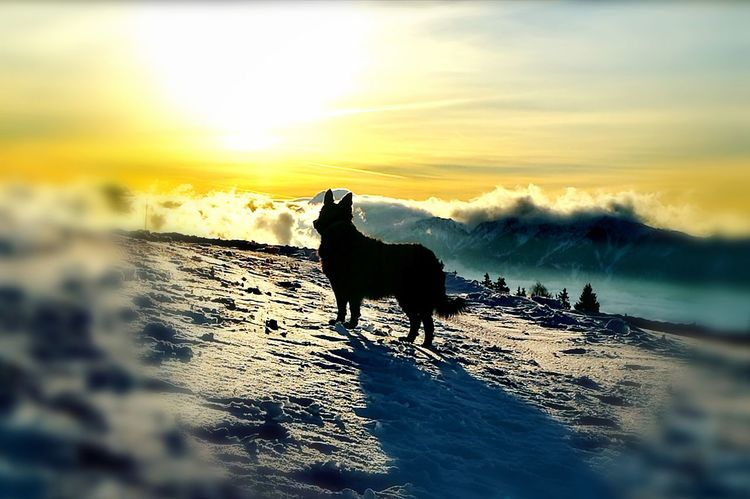 lora standing Austria Mountain Range Walking My Dog Clouds And Sky Dogs Of EyeEm Watching Dogs Dobratsch Mountain View Standing Alone One Animal Animal Themes Sunset Silhouette Animal Animal Wildlife Mammal No People Animals In The Wild Cloud - Sky Domestic Animals Nature Outdoors Sky