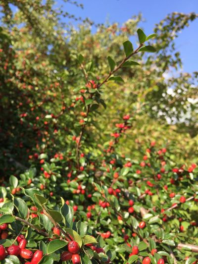 Growth Flower Plant Close-up Focus On Foreground Freshness Nature Fragility Beauty In Nature Day Red Botany Green Color Branch Springtime Outdoors Blossom New Life No People Berry Vibrant Color Delight  Jul Christmastime Christmas Tree
