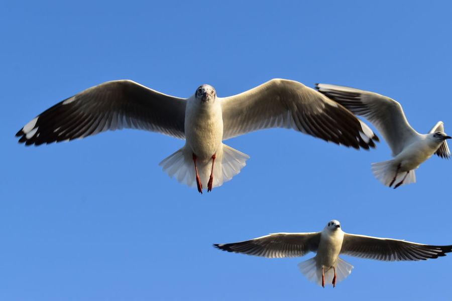 Flying Bird Animals In The Wild Spread Wings Blue Animal Wildlife Clear Sky