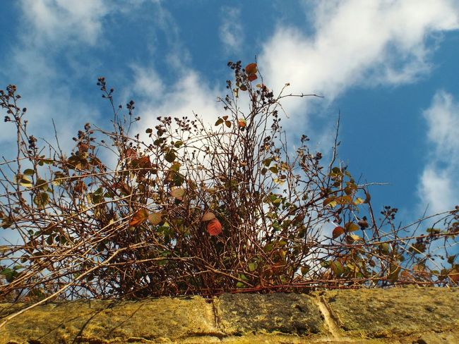 Growth EyeEm Nature Lover EyeEm Best Shots Scenics Winter Outdoors No People Nature Low Angle View Blue Sky Leaves Brambles Thorns Green Day Beauty In Nature Light And Shadow Wintertime Blue Outdoor Photography Sky Wall Architecture Bramble Flower Plants