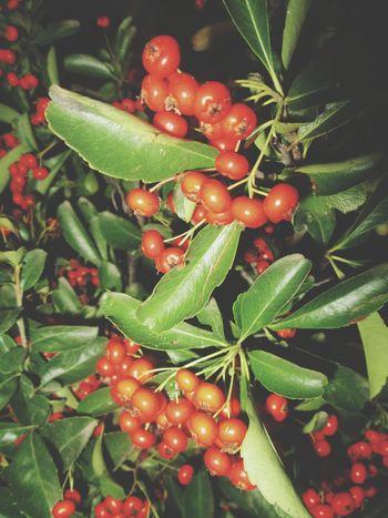 Vischio parte 2 . Flowerporn Vischio Natal2015 Natale #christmas Flowers,Plants & Garden