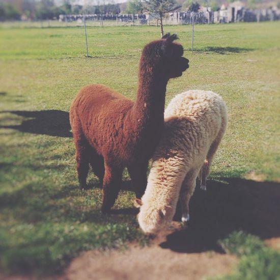 Alpaka ❤️ Enjoying Life EyeEm Nature Lover Alpaca Supercute Animals
