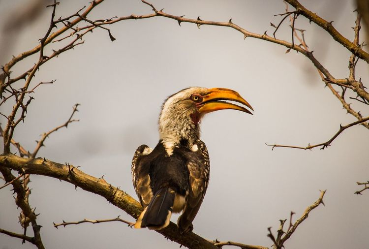 Hornbill perching on branch
